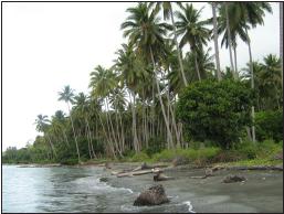 balantak-coconut-grove-near-batu-simpang-village