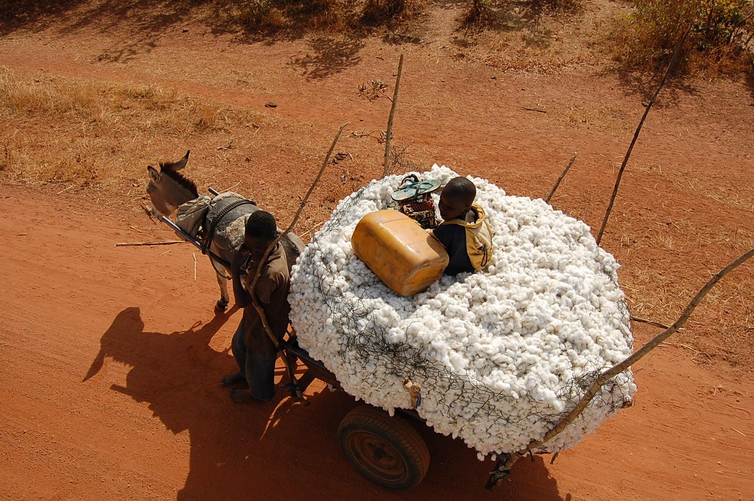 Transport de coton. Transporting cotton.