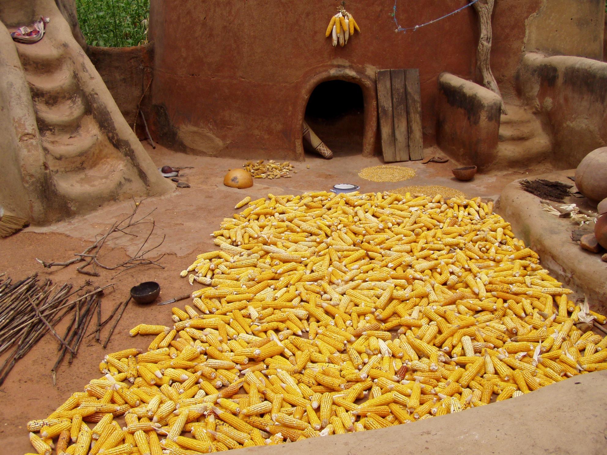 Sécher de maïs. Drying sweet corn.