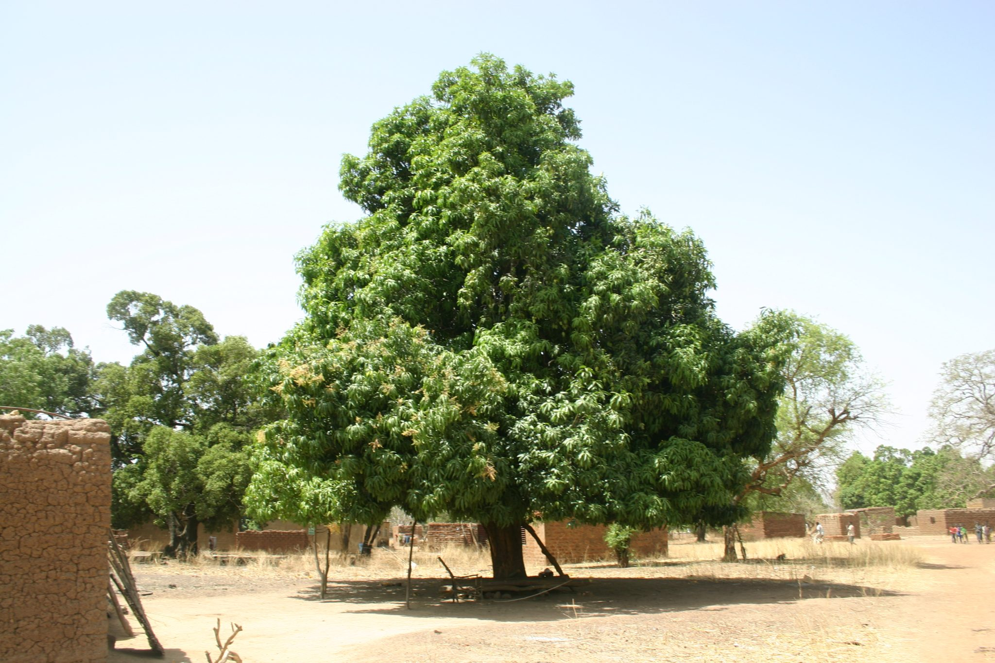 Mango tree in Bonzan